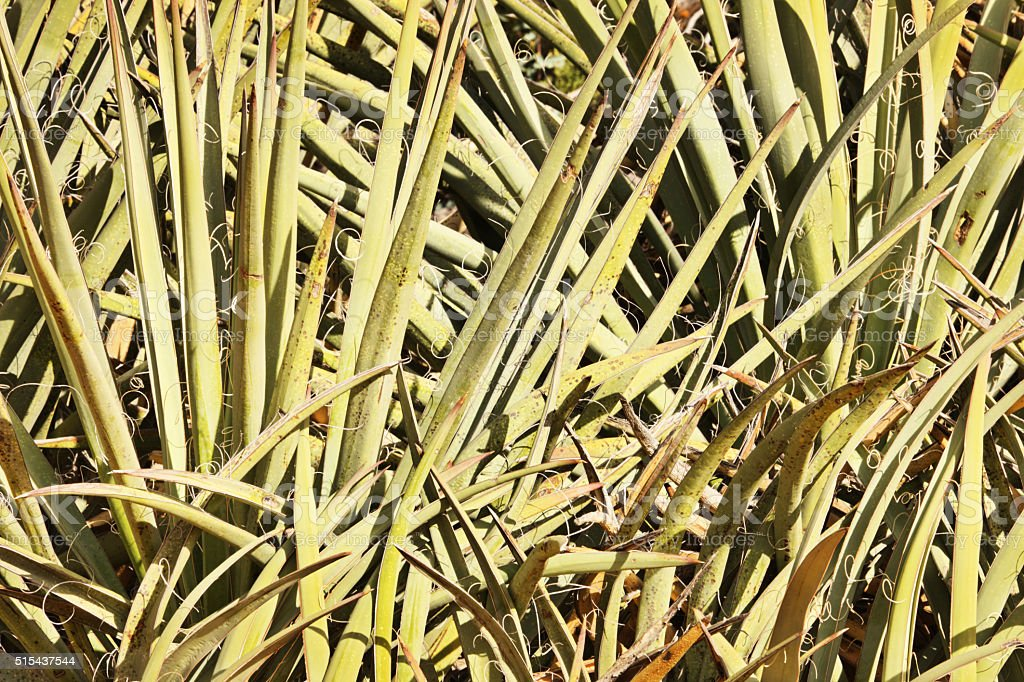 Yucca aloifolia Leaf Fronds Tendrils stock photo