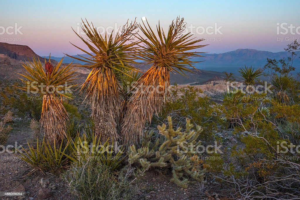 Yucca and full moon stock photo