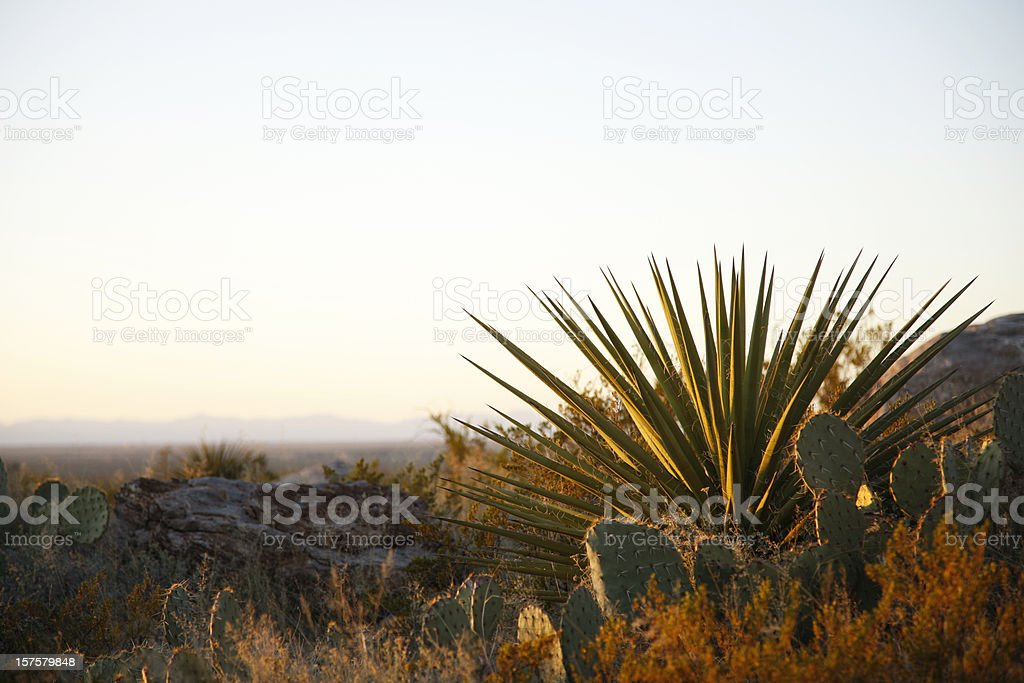 Yucca and Prickly Pear Cacti in New Mexico royalty-free stock photo