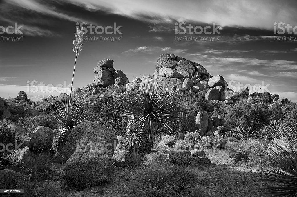 Yucca and Rocks stock photo
