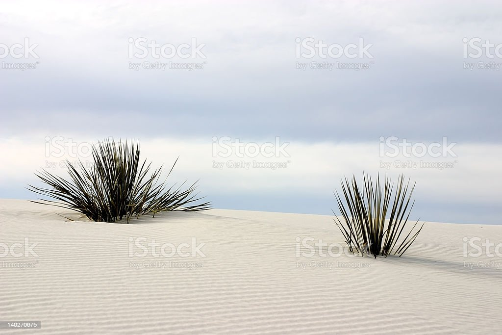 Yucca at White Sands stock photo