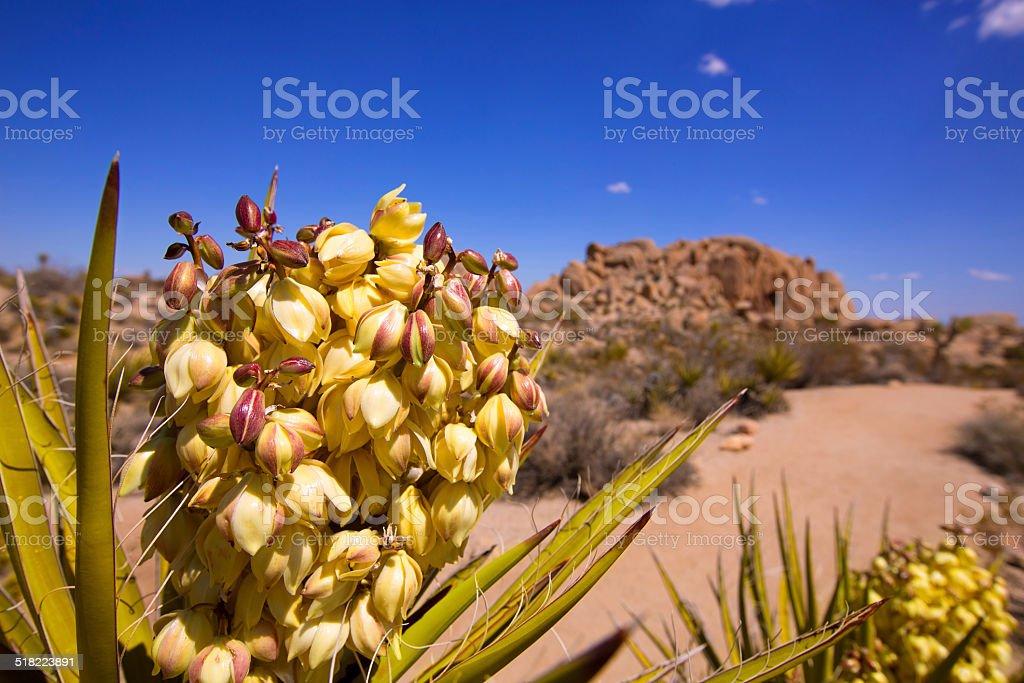 Yucca brevifolia flowers in Joshua Tree National Park stock photo