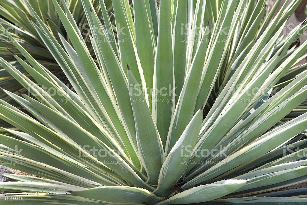 Yucca Close Up royalty-free stock photo