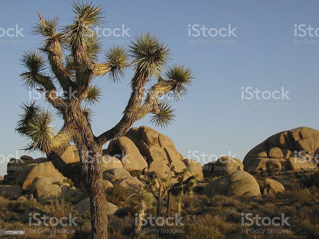 Yucca Desert royalty-free stock photo