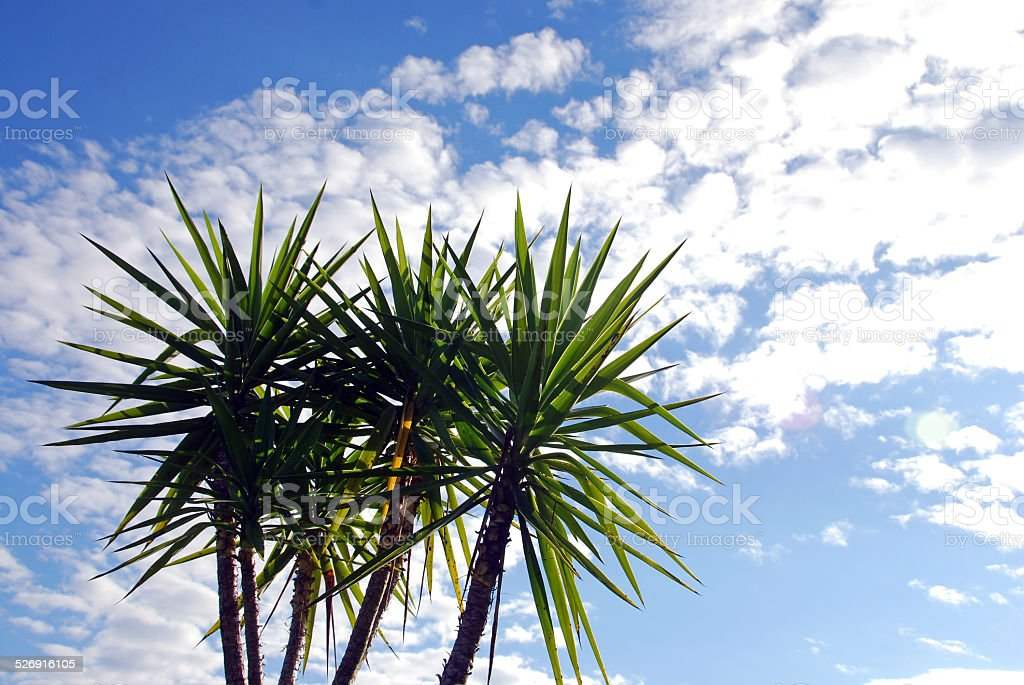 Yucca elephantipes and cloudy sky stock photo
