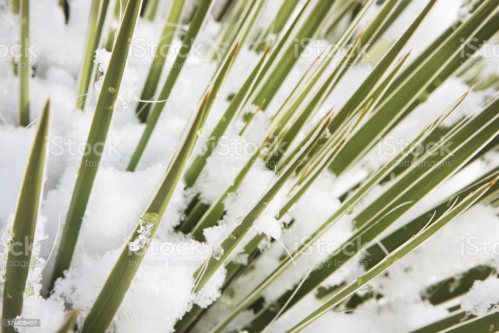 Yucca filamentosa Plant Frond Snow stock photo