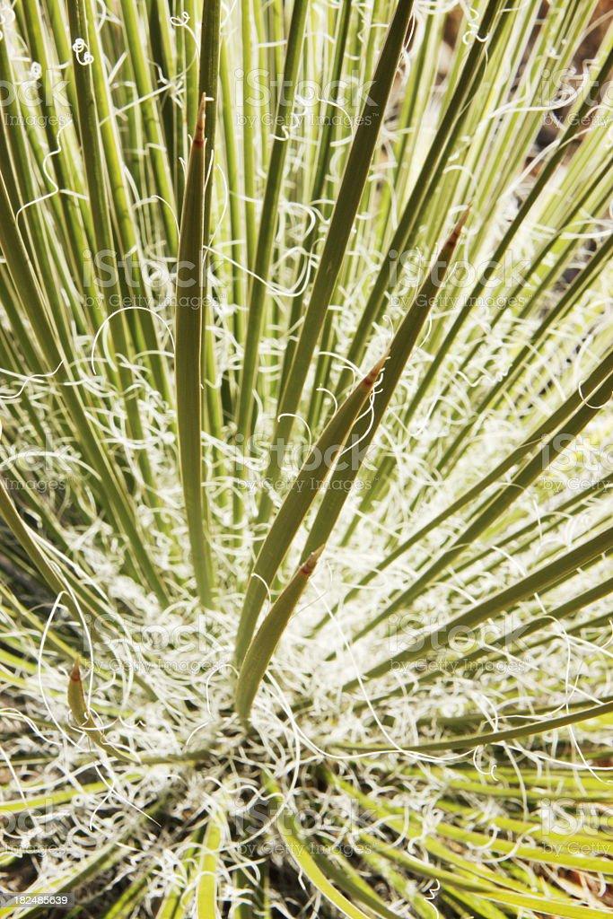 Yucca filamentosa Plant Tendrils stock photo