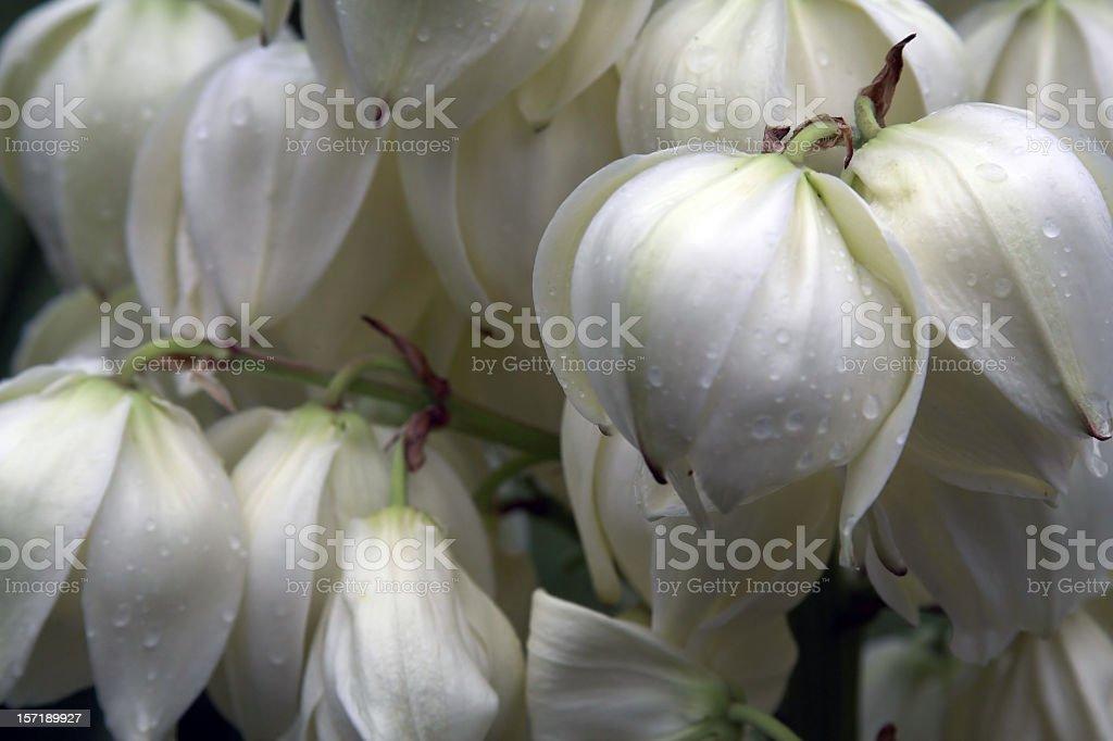 Yucca Flower stock photo