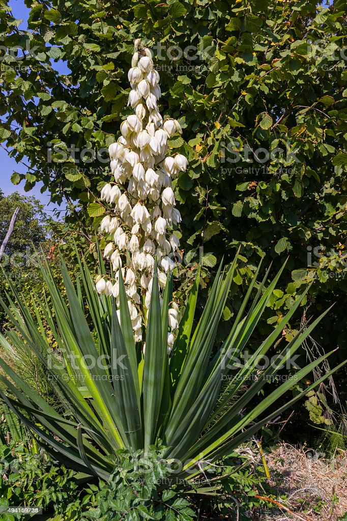 Yucca glauca, or Yucca angustifolia (family: Asparagaceae, United States) stock photo