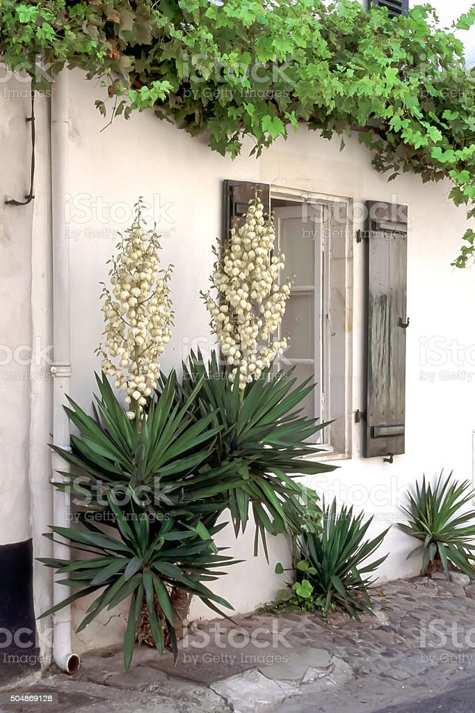Yucca in Saint-Martin-de-Re, France stock photo