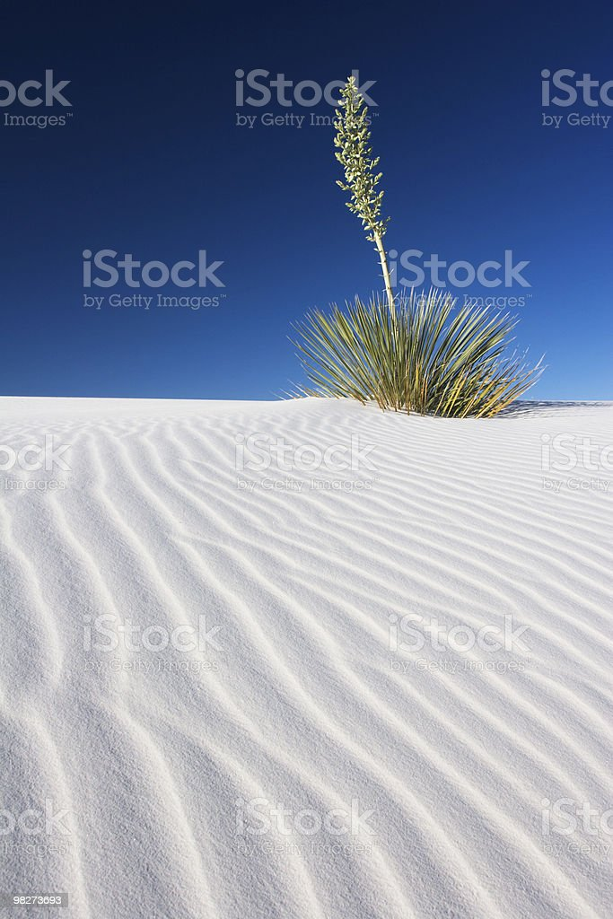 Yucca in the White Sands royalty-free stock photo