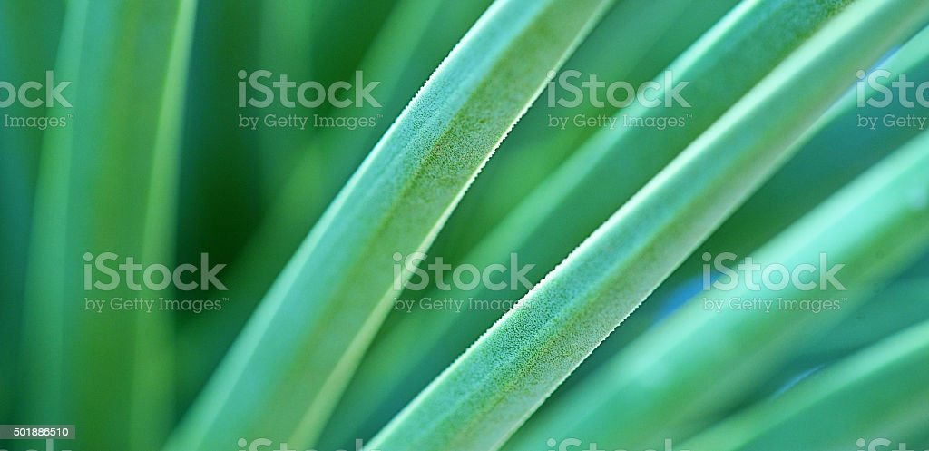 Yucca Leaves Background stock photo