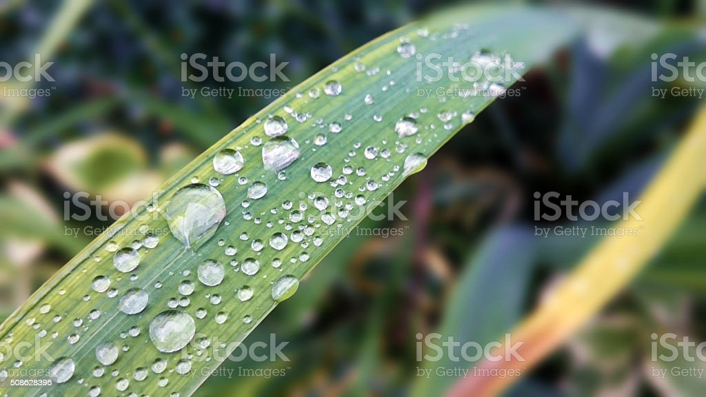 Yucca leaves stock photo