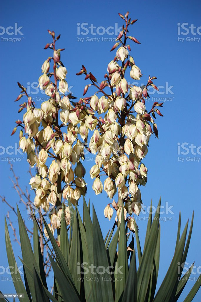 Yucca Leon white inflorescence under blue sky stock photo