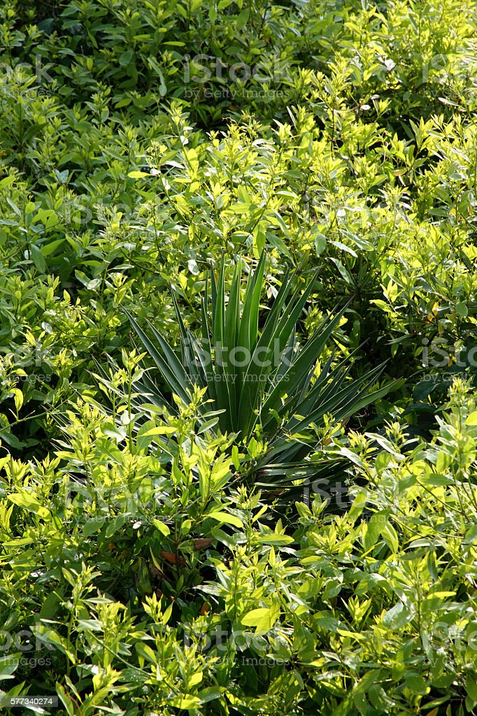 Yucca on a small hill covered with lush green ivy stock photo