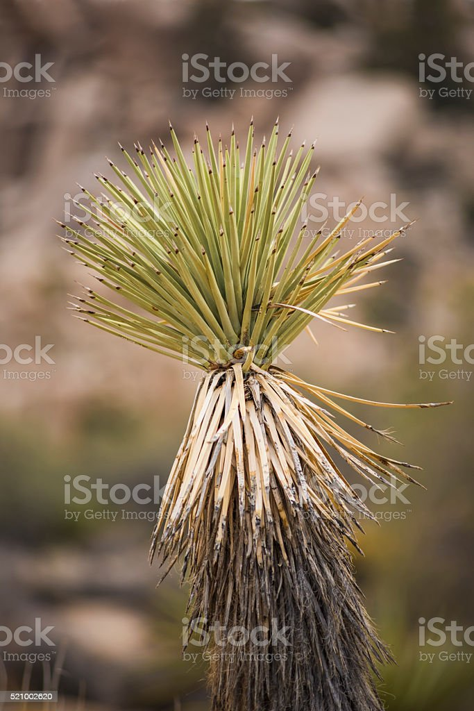 Yucca or Joshua Tree Plant in Desert Background stock photo