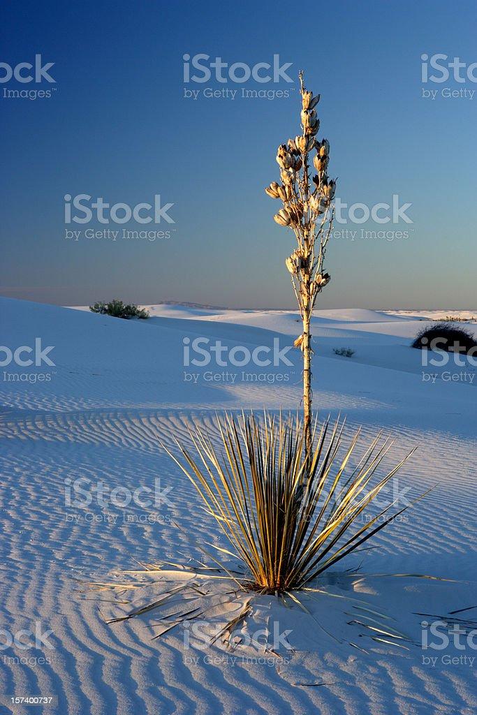 Yucca stock photo