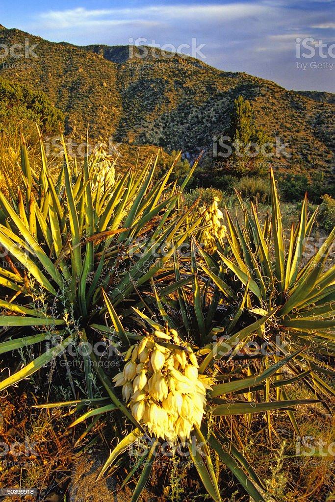 yucca royalty-free stock photo