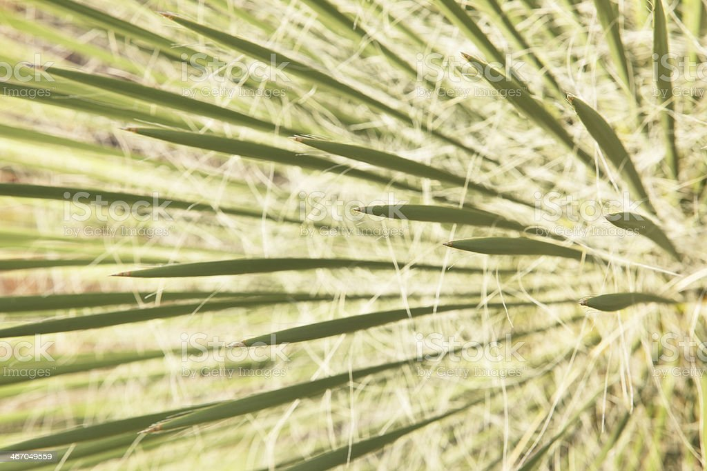Yucca Plant Leaf Frond Tendrils stock photo