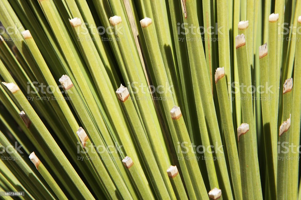 Yucca Plant Leaf Fronds stock photo