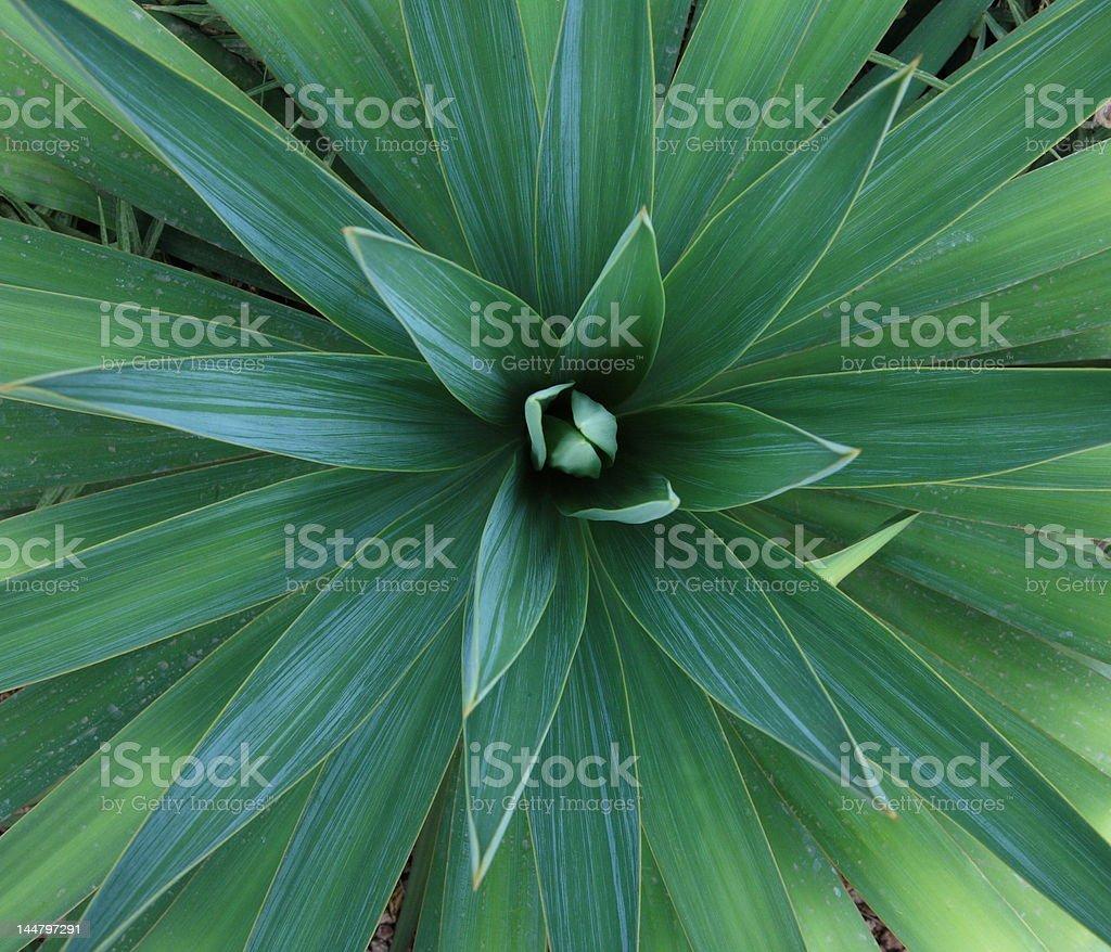 yucca plant royalty-free stock photo