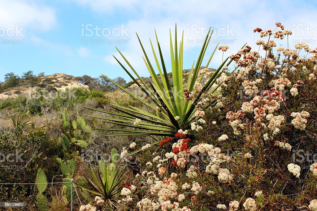 Yucca plant with other native plants stock photo