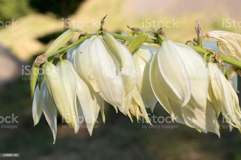 Yucca plants bloom with spikes of white stock photo