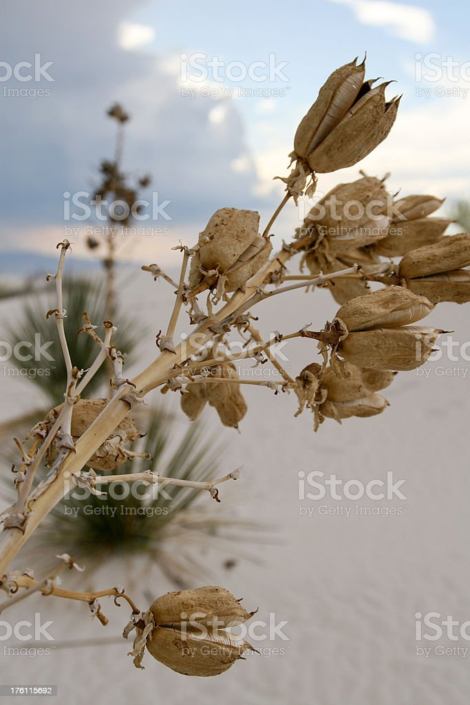 Yucca Pods and White Sand stock photo
