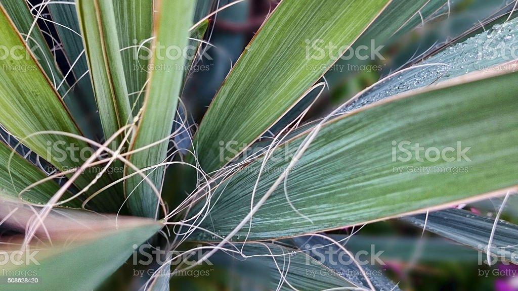Yucca strings stock photo