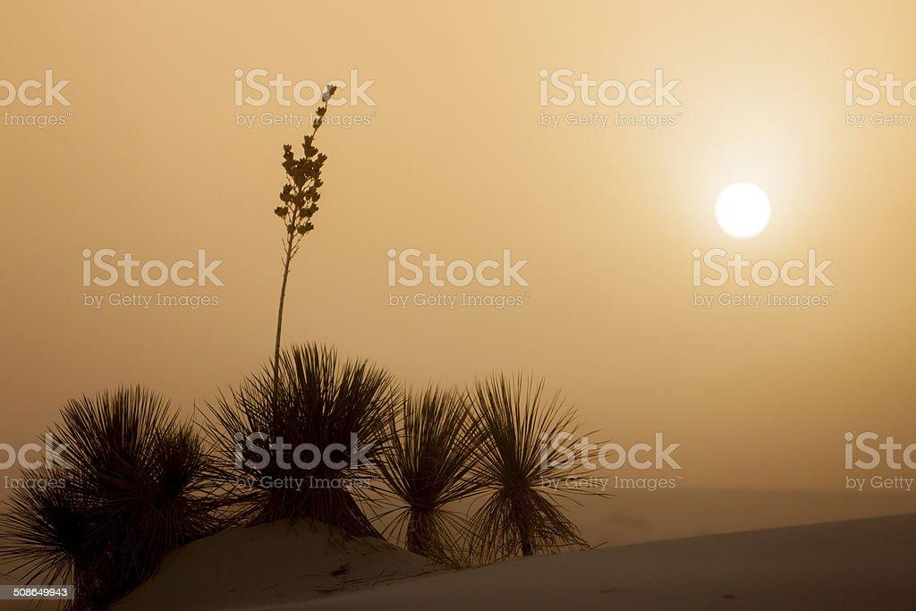 Yucca Sunset stock photo