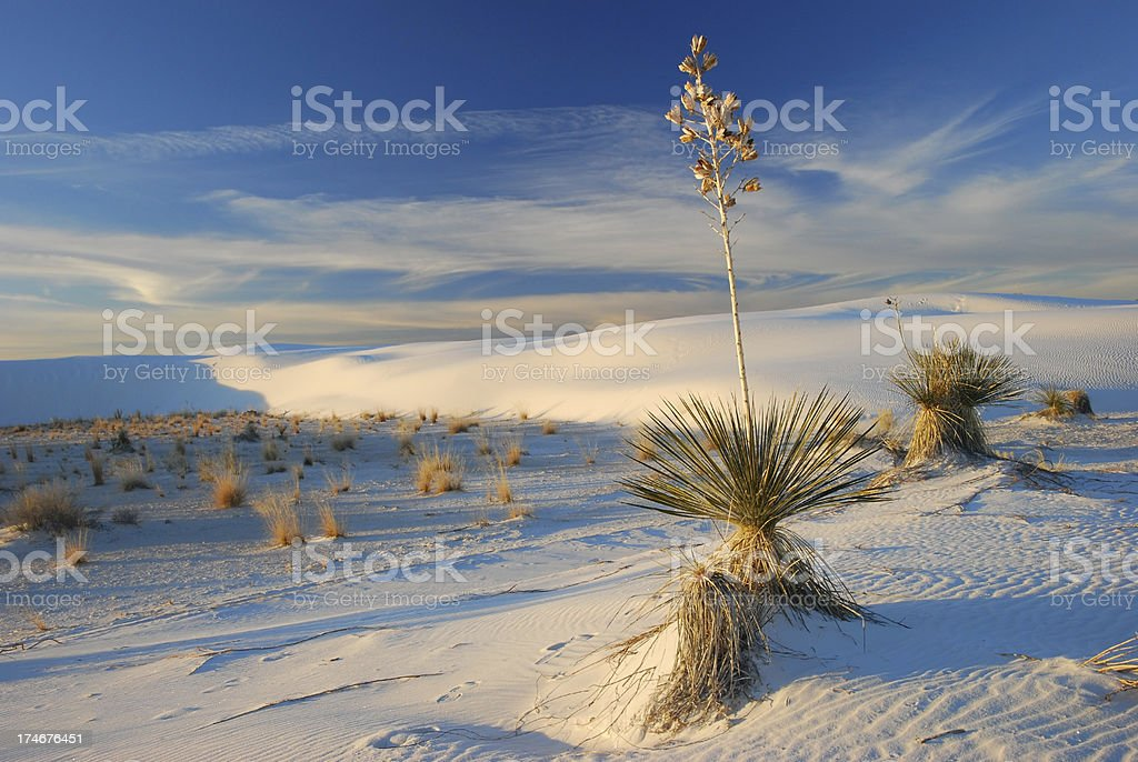 Yuccas at White Sands NM stock photo