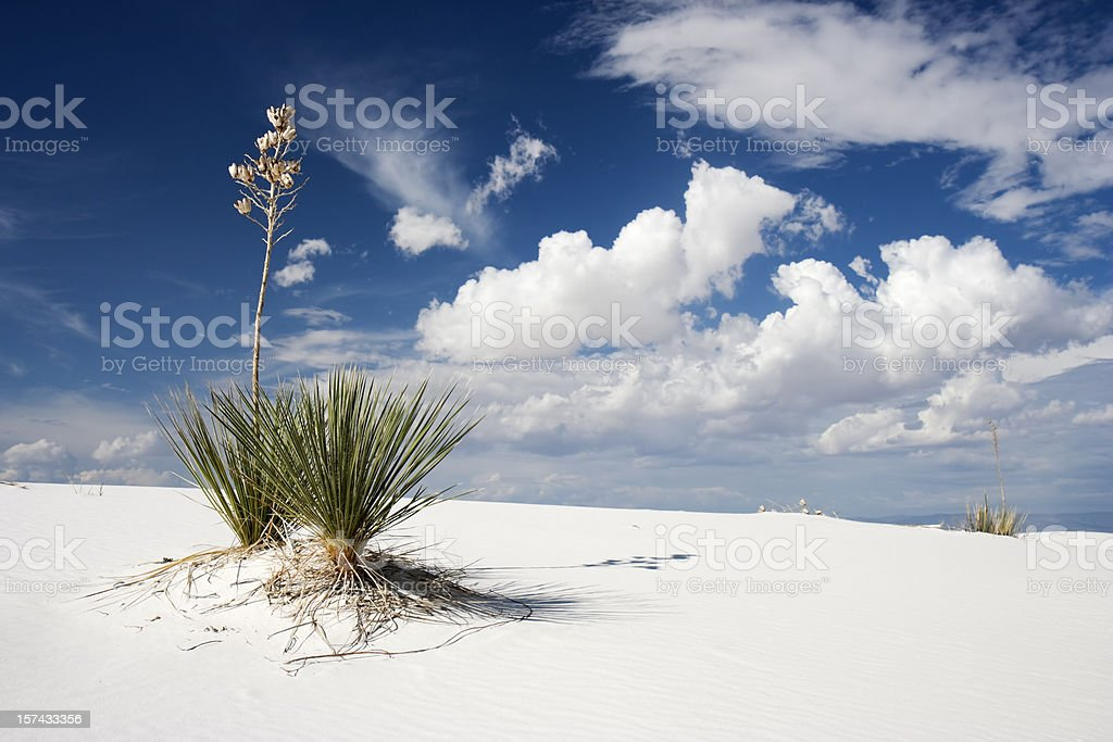 Yuccas in White Sand National Monument, New Mexico stock photo