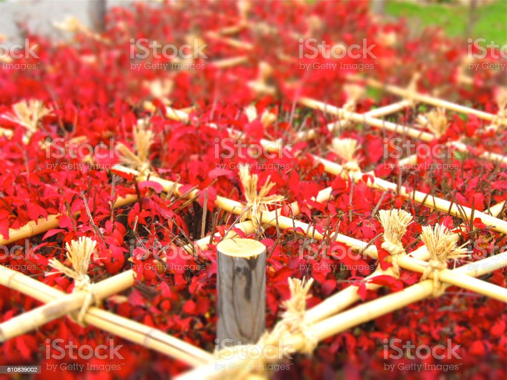 Yukigakoi stock photo