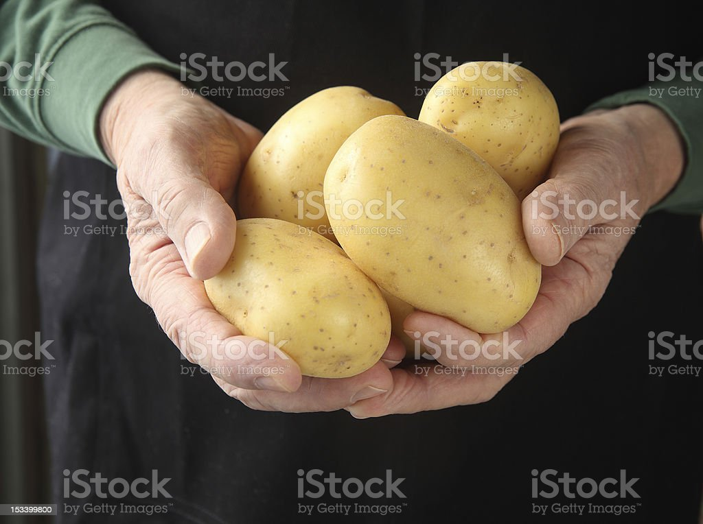 Yukon gold potatoes in hands stock photo