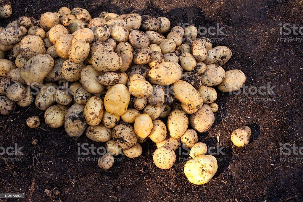 Yukon Gold potatoes royalty-free stock photo
