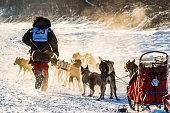 2016 Yukon Quest sled dogs