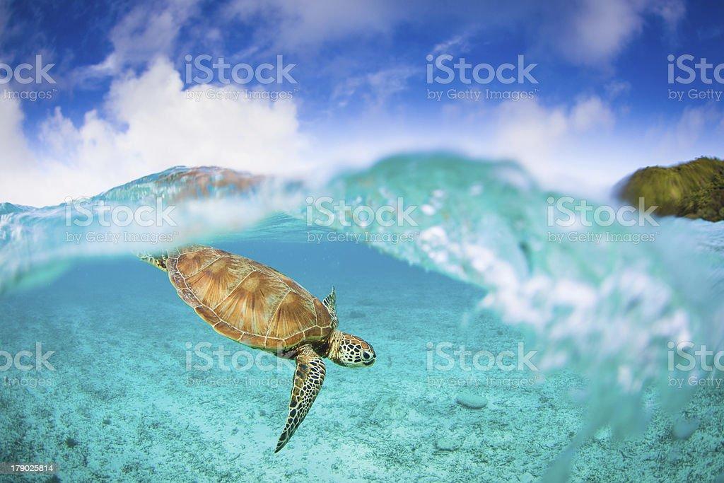 Zamami island Sea Turtle stock photo