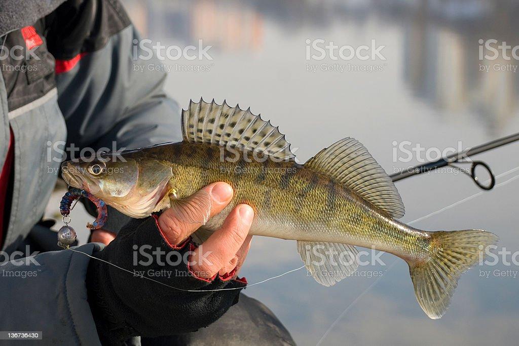 Zander in hand of the Fisherman stock photo