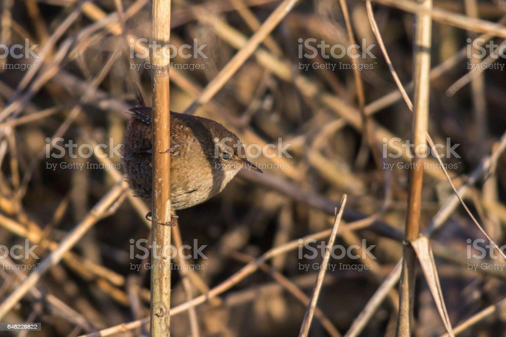 Zaunkönig (Troglodytes troglodytes) stock photo