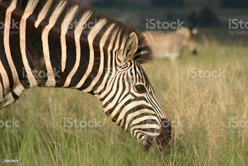 Zebra 1 royalty-free stock photo