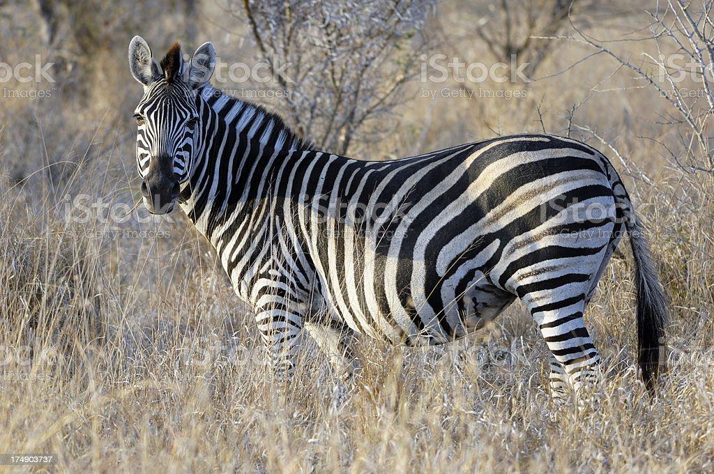 Zebra 3 royalty-free stock photo
