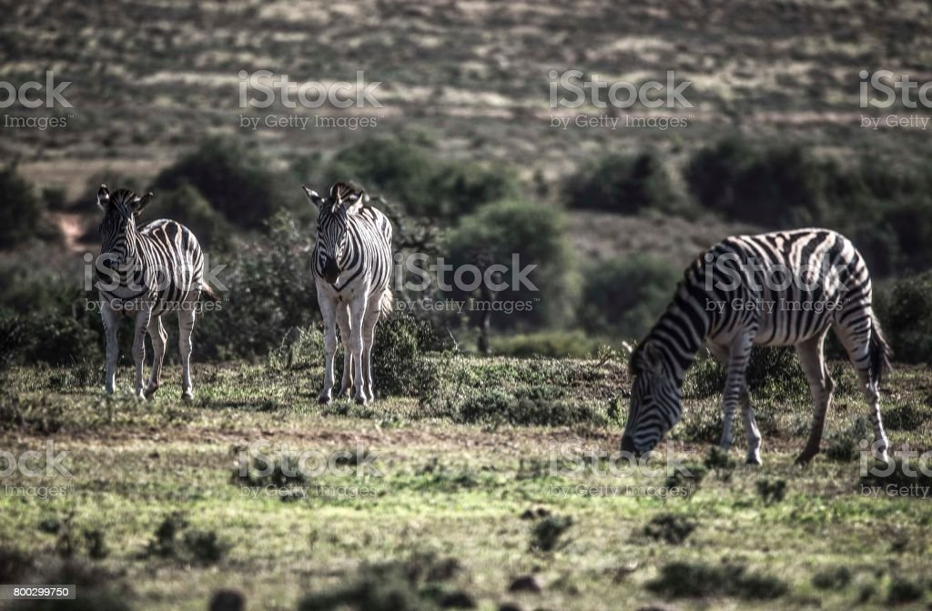 Zebra, Addo Elephant National Park, South Africa stock photo