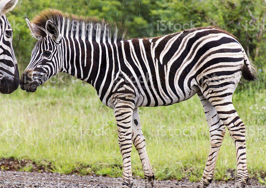 Zebra Affection stock photo