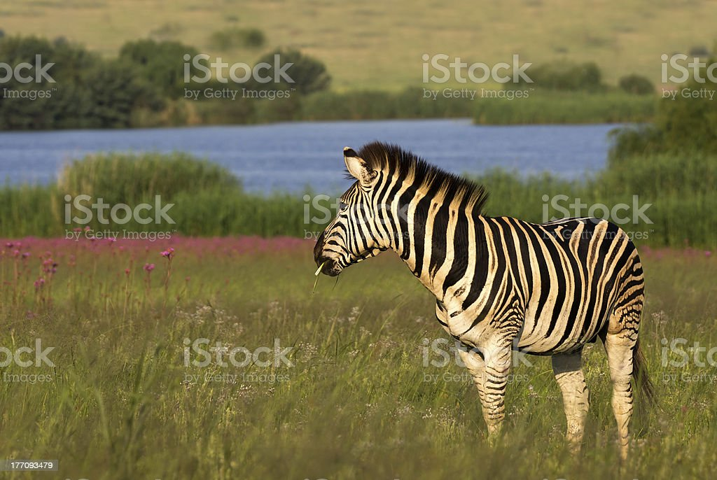 Zebra wobec na kolorowym tle zbiór zdjęć royalty-free