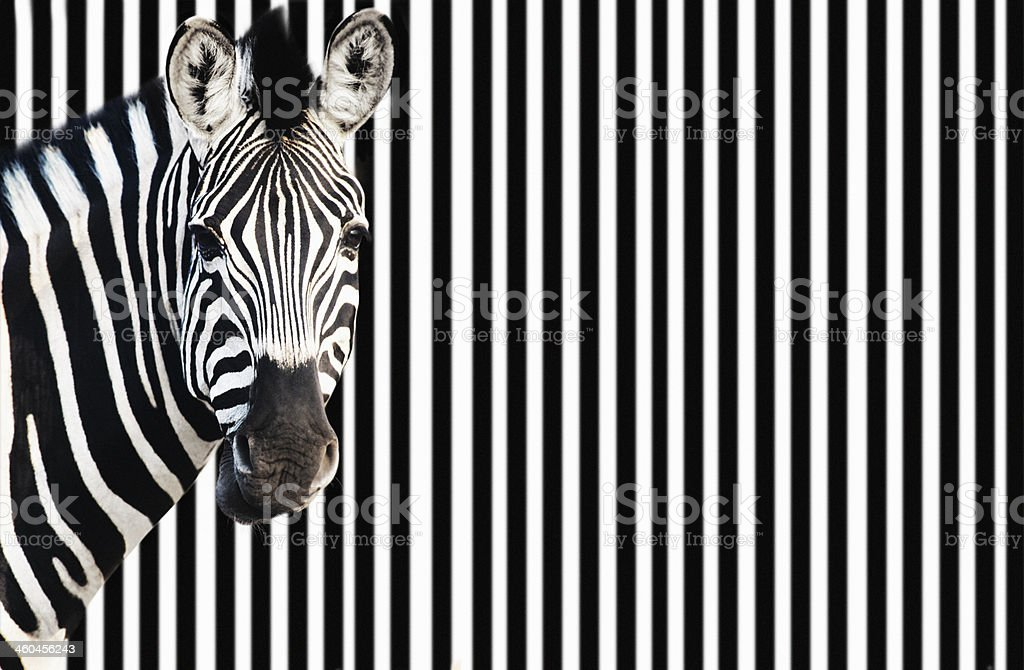 Zebra against background of black and white stripes stock photo