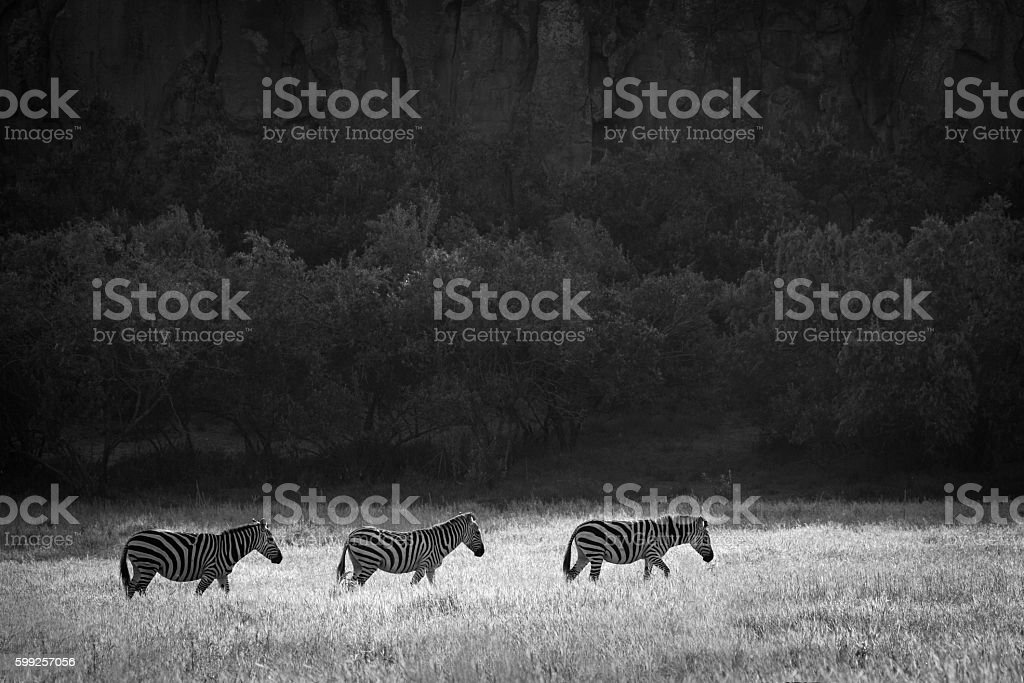 Zebra against dark backdrop stock photo
