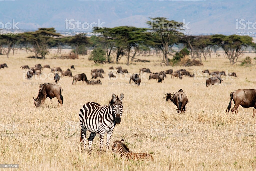 Zebra and foal in the middle of wildebeest herd stock photo
