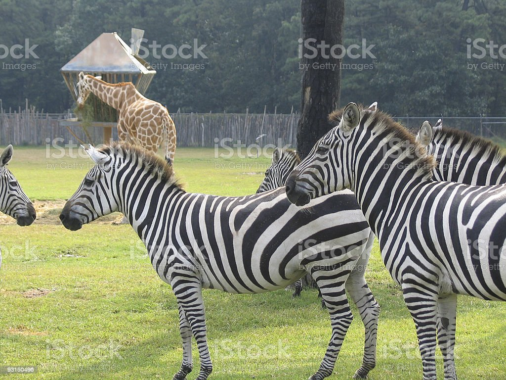 Zebra and giraffe stock photo