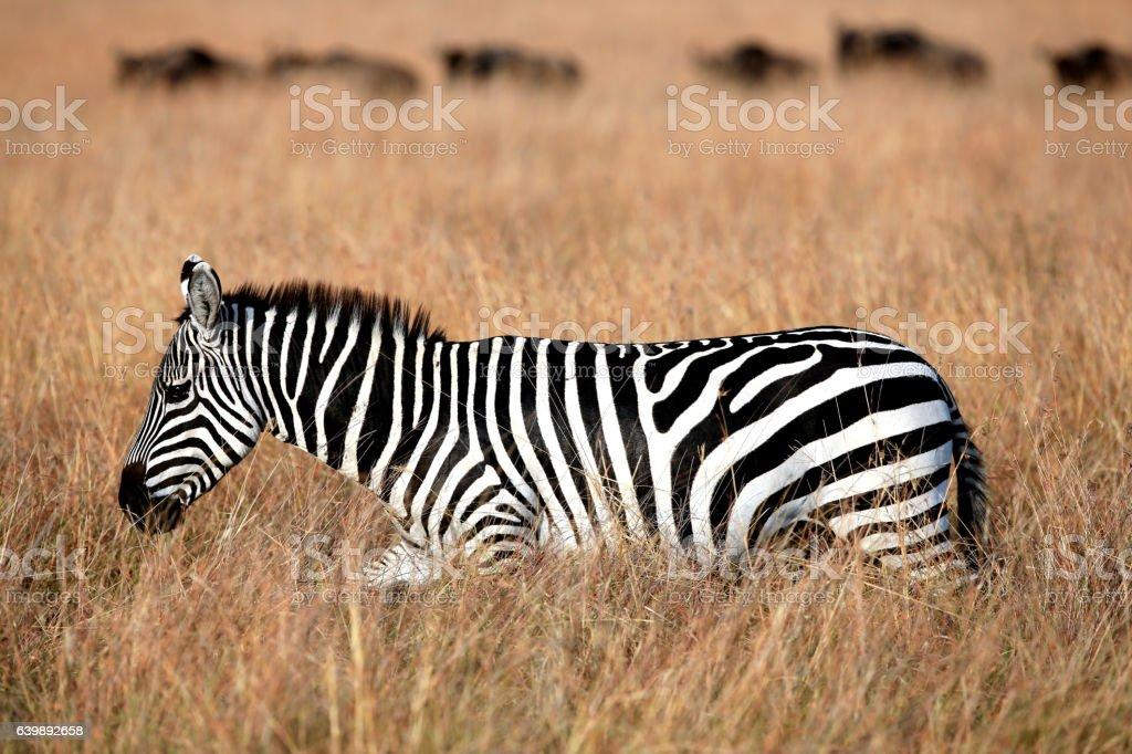 Zebra and Gnus Grazing at Savannah stock photo