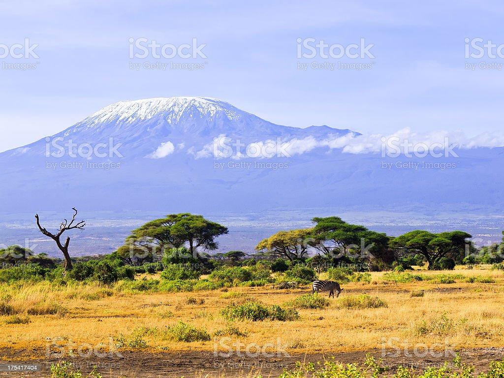 Zebra and Kilimanjaro stock photo